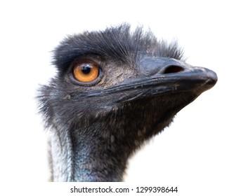Portrait of Australian Emu bird (Dromaius novaehollandiae) isolated on white background.
