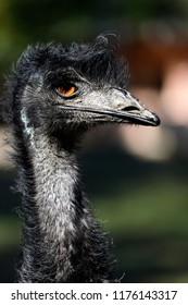 Portrait of Australian Emu (Dromaius novaehollandiae), view of an Emu's neck and head. Photography of nature and wildlife.