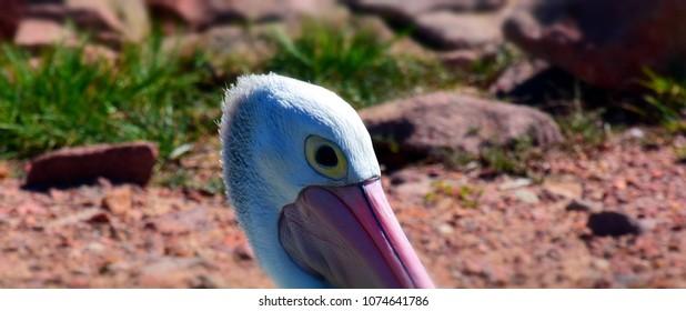 Portrait of an Australian Pelican (Pelecanus conspicillatus). Close-up of a pelican head.