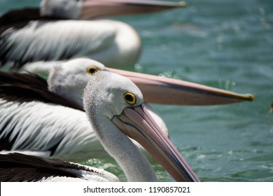 Portrait of an Australian pelican (Pelecanus conspicillatus) at the Gold Coast, Queensland, Australia