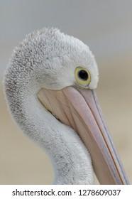 Portrait of an Australian Pelican (Pelecanus conspicillatus) - NSW, Australia