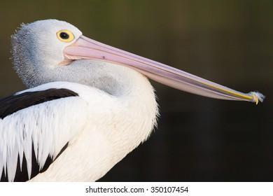 Portrait of Australian Pelican (Pelecanus conspicillatus)