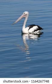 A portrait of an Australian Pelican(Pelecanus conspicillatus), paddling on the Clarence River, near Goodwood Island, NSW, Australia.