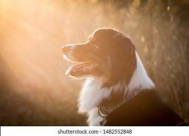 portrait of an australian shepherd