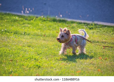 The portrait of Australian Terrier on the spring meadow. dog breed australian terrier. the dog on a leash is tied to a bench. beautiful little dog walks on a green lawn