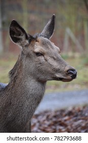 Portrait of an awesome red deer in a forest in Germany