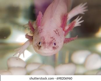 Portrait of an axolotl in aquarium close up