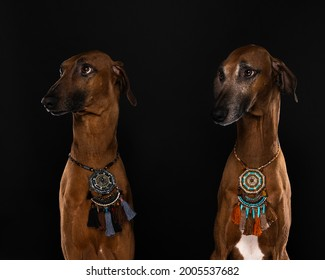 A Portrait of a Azawakh dog an afrikan dog breed which is tall and slim