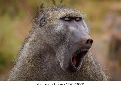 Portrait of a baboon yawning in Kruger Park