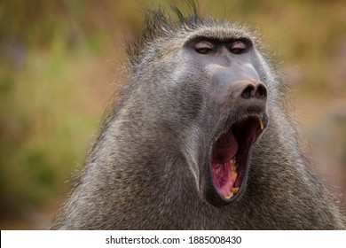 Portrait of a baboon yawning in South Africa
