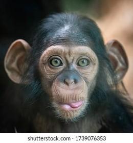 Portrait of a baby chimpanzee in Pilsen in Czech Republic .