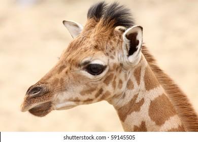 Portrait of a baby giraffe