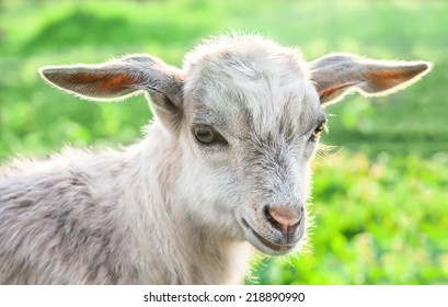 Portrait of a baby goat on a green meadow.
