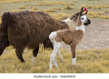 Portrait of baby llama and his mother (Lama glama) early in the morning at high altitude in Bolivia.