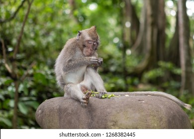 Portrait of a Baby Long-Tailed Monkey Peeling Seeds in the Sacred Monkey Forest in Ubud, Bali, Indonesia