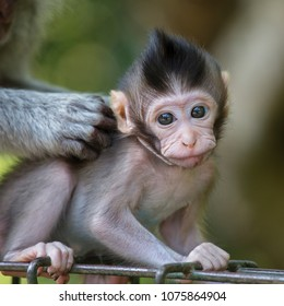 Portrait of baby monkey at sacred monkey forest in Ubud, Bali, Indonesia. Close up