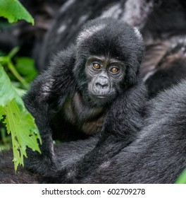 Portrait of the baby mountain gorilla. Uganda. Bwindi Impenetrable Forest National Park. An excellent illustration.