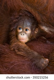 Portrait of a baby orangutan. Close-up. Indonesia. The island of Kalimantan (Borneo). An excellent illustration.