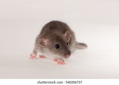 portrait of baby rat on a white background