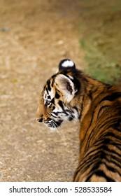 portrait of a baby tiger cub