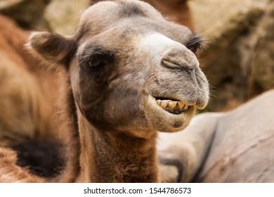 Portrait of Bactrian camel (Camelus ferus)