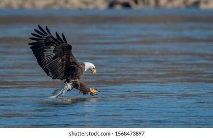 A portrait of a Bald Eagle