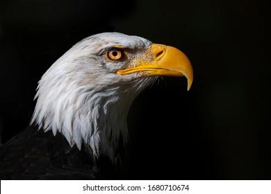 Portrait of bald eagle with black background