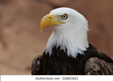 Portrait of a bald eagle. USA symbol.