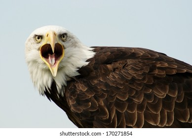Portrait of a bald eagle with wide open bill