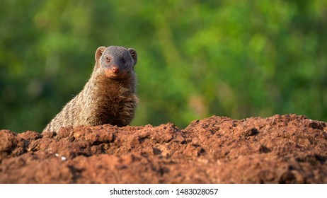 Portrait of  Banded mongoose, Mungos mungo, staring from red rock at camera against tropical green forest background.  African wildlife. Safari in Amboseli national park, Kenya.