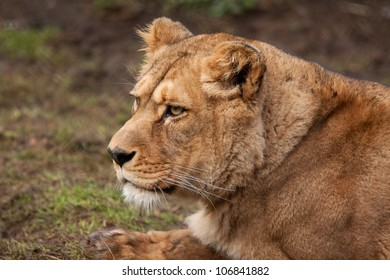 portrait of a Barbary lioness