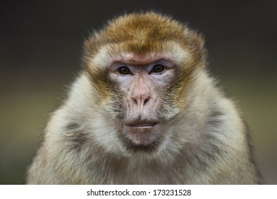 Portrait of a barbary macaque