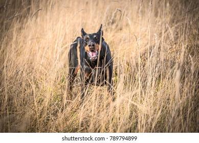 Portrait of barking Doberman pinscher dog,selective focus
