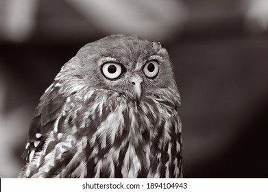 Portrait of a Barking owl Barking owl (Ninox connivens) bird a nocturnal bird species native to mainland Australia and parts of New Guinea and the Moluccas.