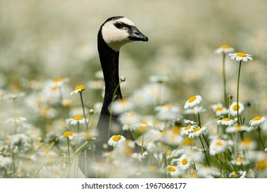 Portrait of Barnacle Goose among daisies