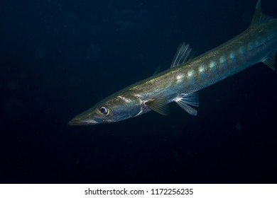 Portrait of a barracuda at the reef of Richelieu Rock in Thailand
