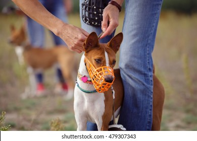 Portrait of Basenji dogs muzzled for a run. In training coursing field. Muzzle dog clothes before the start