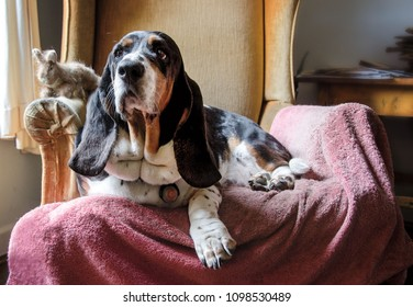 Portrait of a Basset Hound