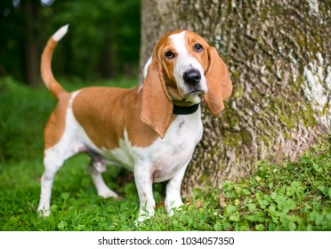 Portrait of a Basset Hound outdoors