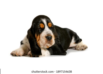 portrait of basset hound puppy isolated on white background