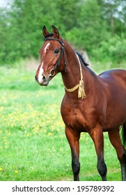 Portrait of  bay Akhal teke horse