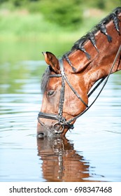 Portrait of bay horse with closed eyes drinking water in river. Colored outdoors vertical summertime image