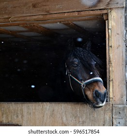 Portrait of a bay horse standing in his stall with snowflakes falling on him