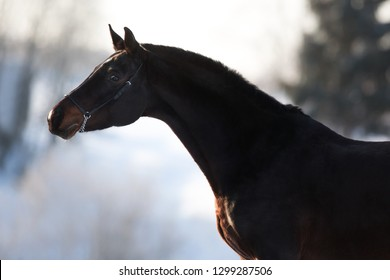 portrait of a bay horse in winter, conformation, exterior