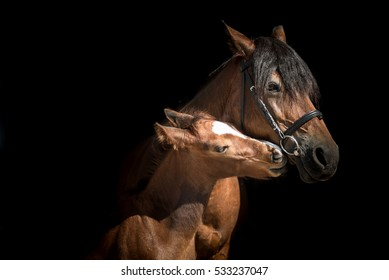 Portrait of a Bay sport pony horse with a foal on a black background