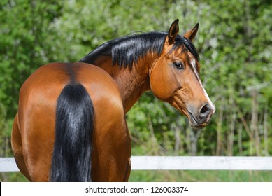 Portrait of bay stallion of Ukrainian riding breed