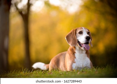 Portrait of a beagle dog in autumnal light