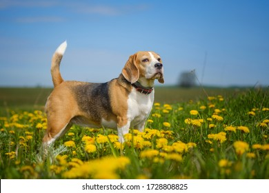 portrait of a Beagle dog during a walk in a spring meadow among blooming yellow dandelions