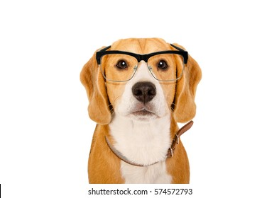 Portrait of a Beagle dog in glasses isolated on white background