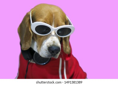 Portrait of a Beagle dog in a glasses on a pink background